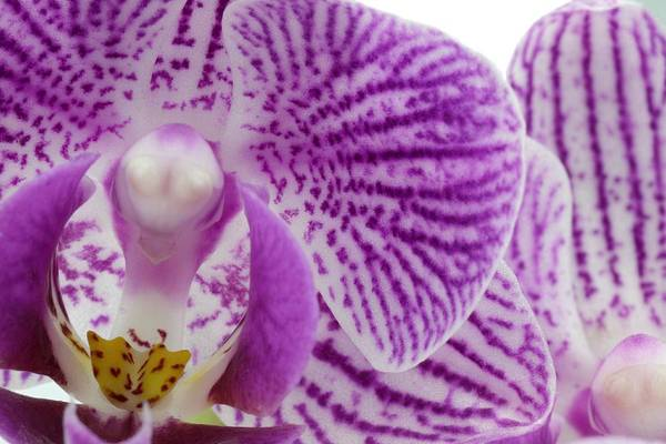 Photograph - Purple Orchid-6 by Rudy Umans