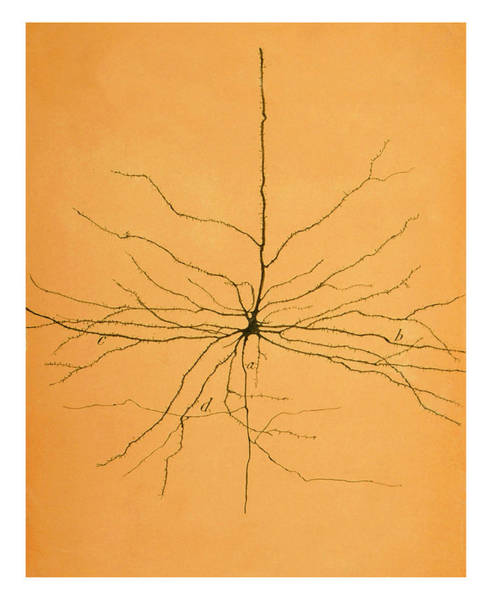 Biological Wall Art - Photograph - Pyramidal Cell In Cerebral Cortex, Cajal by Science Source