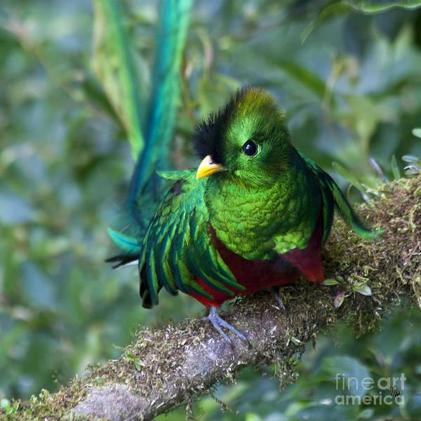 Quetzals Photograph - Quetzal by Heiko Koehrer-Wagner