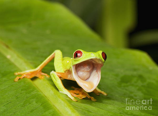 Photograph - Red-eyed Treefrog by Dan Suzio