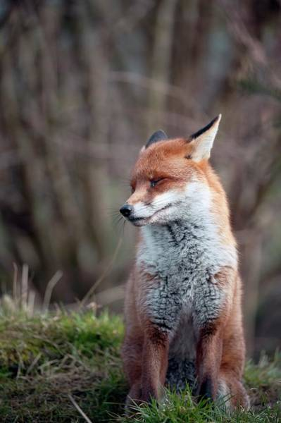 Wall Art - Photograph - Red Fox by Dr P. Marazzi/science Photo Library