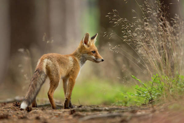 Wild Grass Photograph - Red Fox by Milan Zygmunt