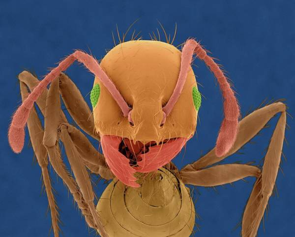 Invicta Photograph - Red Imported Fire Ant by Dennis Kunkel Microscopy/science Photo Library