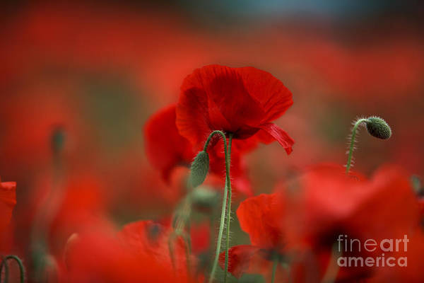 Wild Flowers Wall Art - Photograph - Red by Nailia Schwarz
