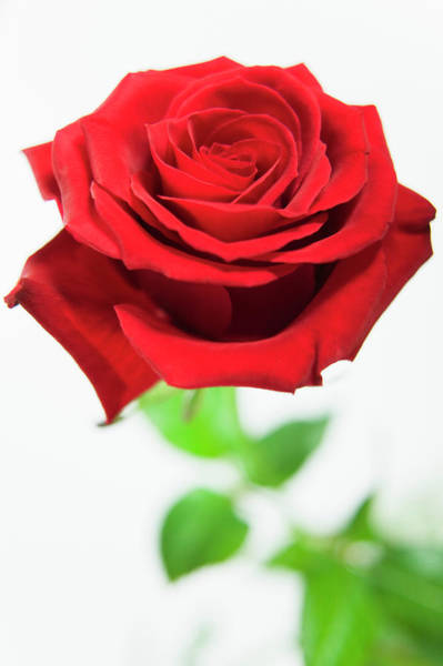 Wall Art - Photograph - Red Rose (rosa Sp.) by Gustoimages/science Photo Library