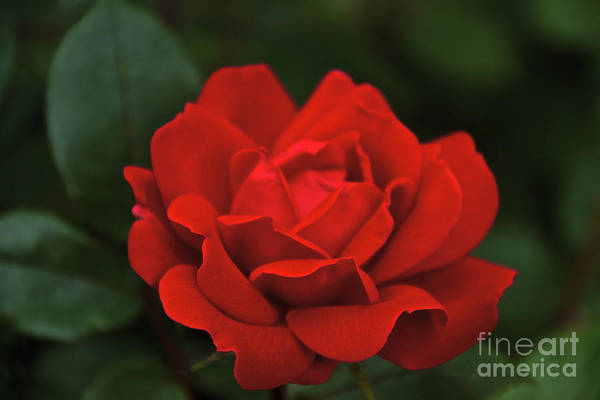Photograph - Red Rose by William Norton