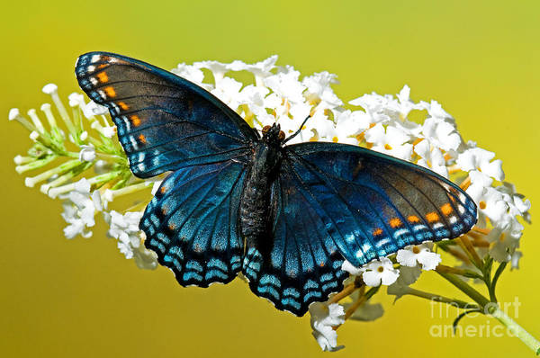 Photograph - Red Spotted Purple Butterfly by Millard H Sharp