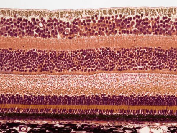 Biological Photograph - Retina by Steve Gschmeissner
