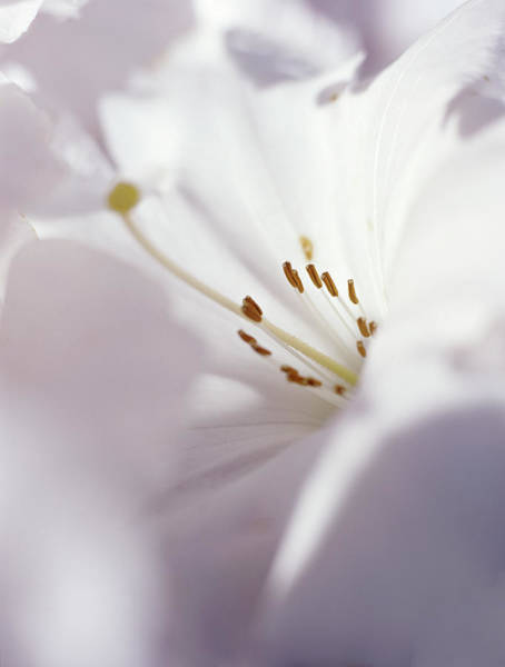 King George Wall Art - Photograph - Rhododendron 'king George' by Rachel Warne/science Photo Library