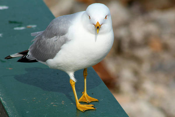 Photograph - Ring Billed Gull by Scott Hovind
