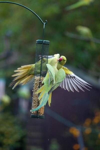 Wall Art - Photograph - Ring-necked Parakeets On A Bird Feeder by Georgette Douwma/science Photo Library