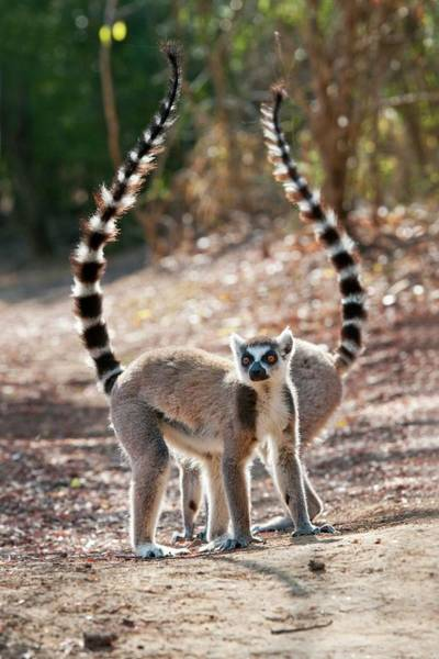 Ring-tailed Wall Art - Photograph - Ring-tailed Lemurs by Tony Camacho/science Photo Library