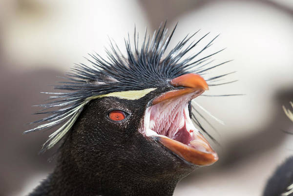 South Atlantic Wall Art - Photograph - Rockhopper Penguin (eudyptes Chrysocome by Martin Zwick