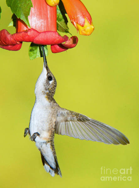 Photograph - Ruby-throated Hummingbird Female by Millard H Sharp