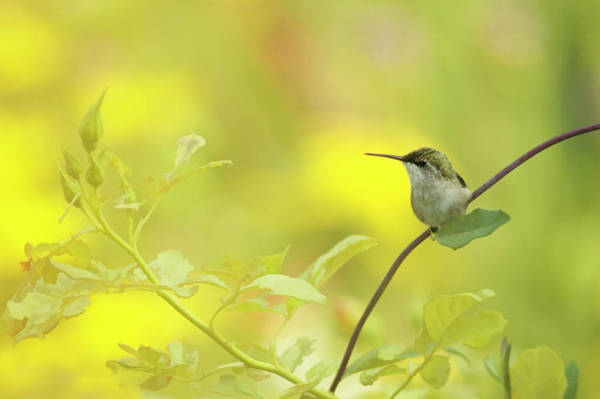 Honeysuckle Photograph - Ruby-throated Hummingbird by Maria Mosolova/science Photo Library