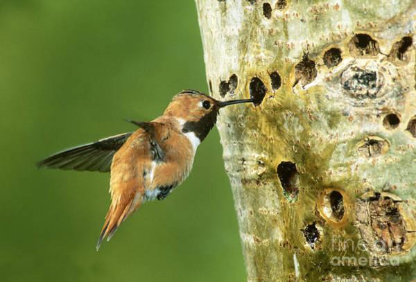 Selasphorus Photograph - Rufous Hummingbird by Anthony Mercieca