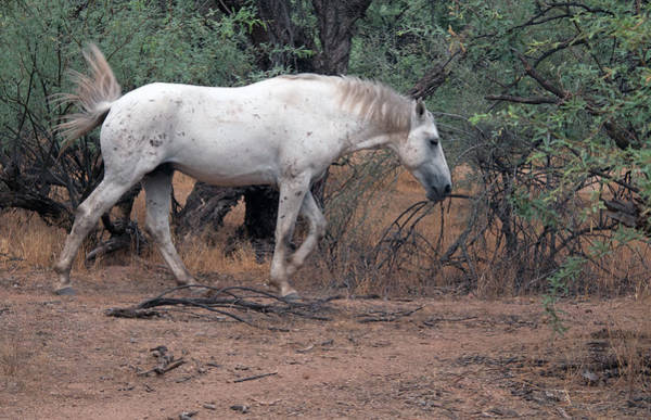 Photograph - Salt River Wild Horse by Tam Ryan