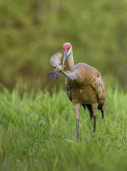Wall Art - Photograph - Sandhill Crane Eating Red-winged by Linda Arndt