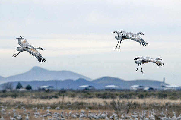 Photograph - Sandhill Cranes by Tam Ryan