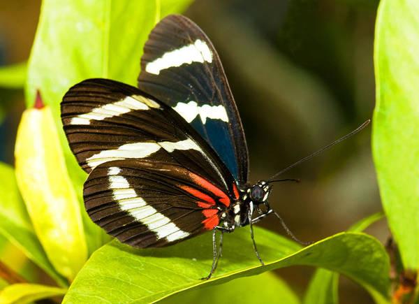 Photograph - Sara Longwing Butterfly by Millard H Sharp