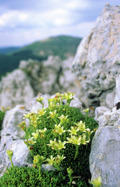 Crevice Photograph - Saxifrage (saxifraga Ampullacea) by Bruno Petriglia/science Photo Library