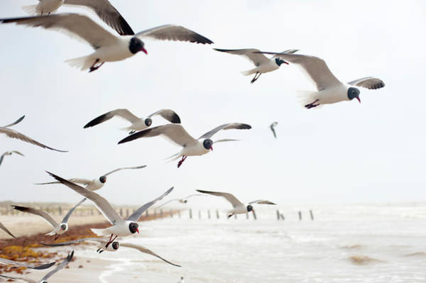 Birds Of Texas Photograph - Seagulls In Flight by Olga Melhiser Photography