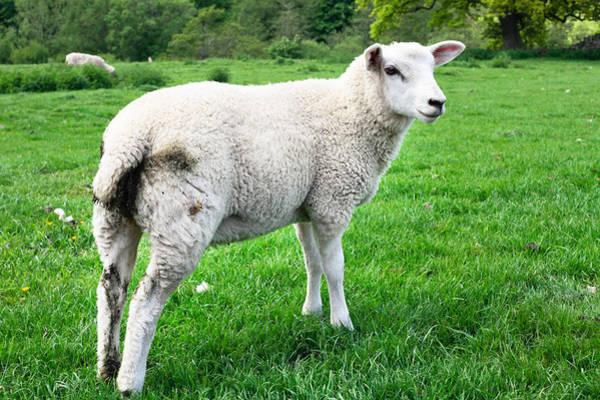 Wall Art - Photograph - Sheep In Field by Tom Gowanlock