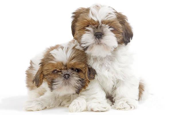 Photograph - Shih Tzu Puppy Dogs by Jean-Michel Labat