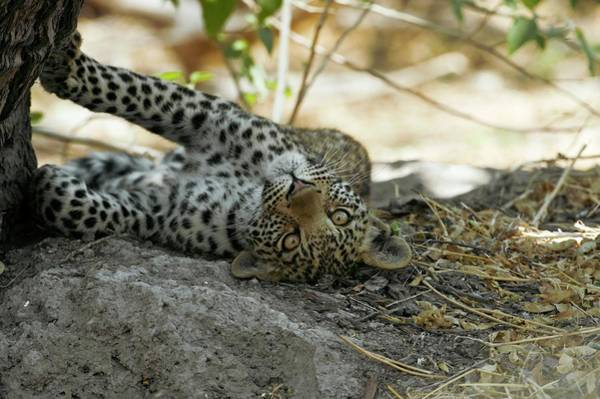 Panthera Pardus Photograph - Six Month Old Leopard Cub by Dr P. Marazzi/science Photo Library