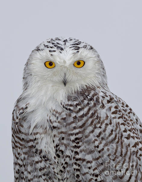 Photograph - Snowy Owl by Joshua Clark