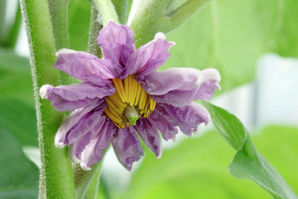 Aubergine Wall Art - Photograph - Solanum Melongena 'black Beauty' by Gustoimages/science Photo Library