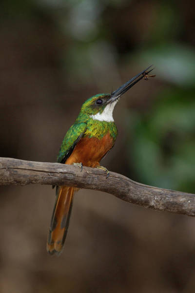 Rufous Photograph - South America, Brazil, Pantanal by Joe and Mary Ann Mcdonald