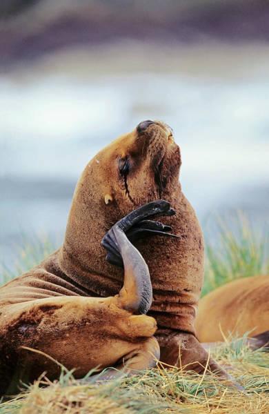 Bulls Island Photograph - South American Sea Lion (otaria by Martin Zwick