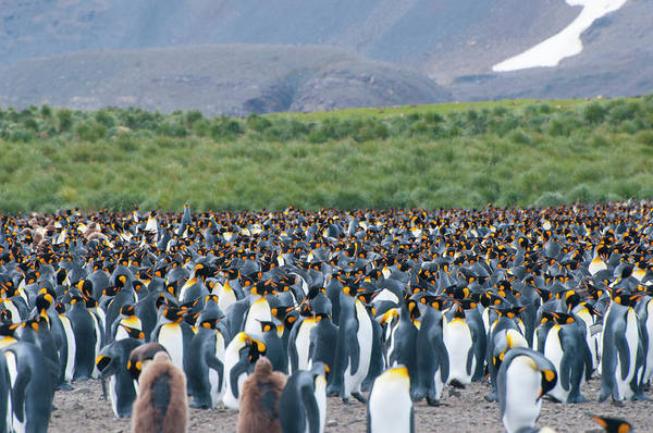 King Penguin Wall Art - Photograph - South Georgia Salisbury Plain King by Inger Hogstrom