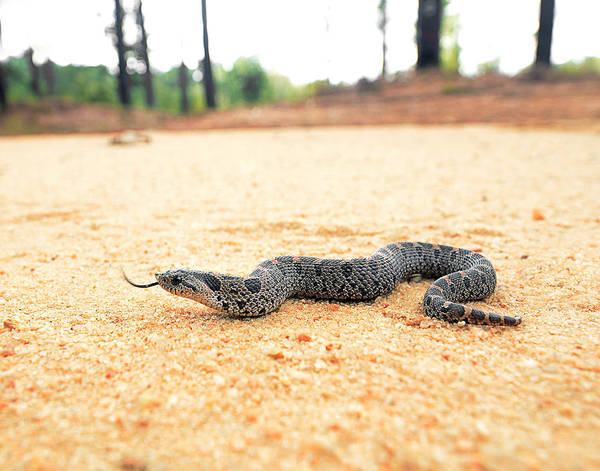 Eastern Hognose Snake Photograph - Southern Hognose by Eric Abernethy