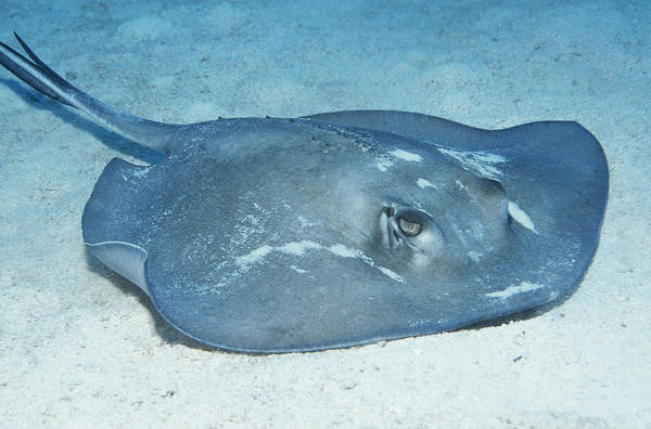 Wall Art - Photograph - Southern Stingray by Charles Angelo