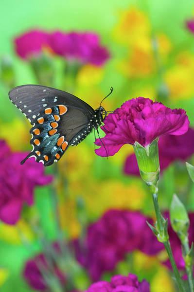 Carnation Photograph - Spicebush Swallowtail, Papilio Troilus by Darrell Gulin