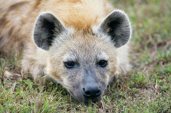 Hyena Photograph - Spotted Hyena by Dr P. Marazzi/science Photo Library
