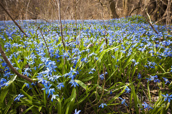 Early Spring Photograph - Spring Blue Flowers by Elena Elisseeva