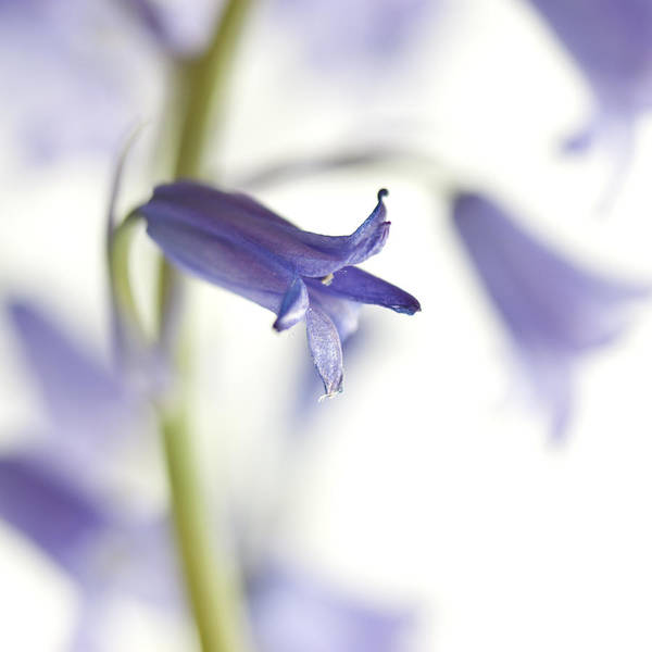 Bluebell Photograph - Spring Bluebells by Carol Leigh
