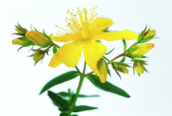 Wall Art - Photograph - St John's Wort Flowers by Gustoimages/science Photo Library