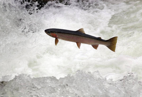 Wall Art - Photograph - Steelhead Trout Jumping In Falls by Theodore Clutter
