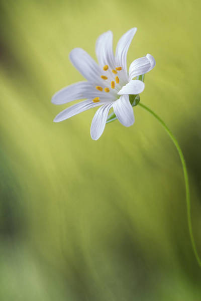 Wall Art - Photograph - Stitchwort by Mandy Disher