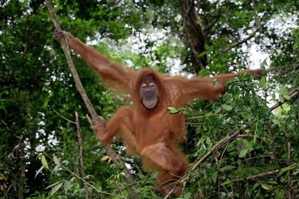 Orangutan Photograph - Sumatran Orangutan by Tony Camacho/science Photo Library
