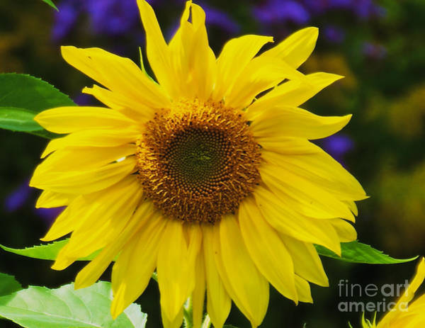 Photograph - Sun Flower by William Norton