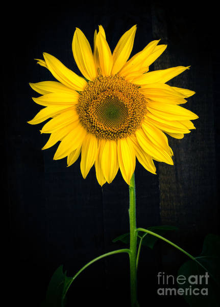 Photograph - Sunflower Over Black by Edward Fielding