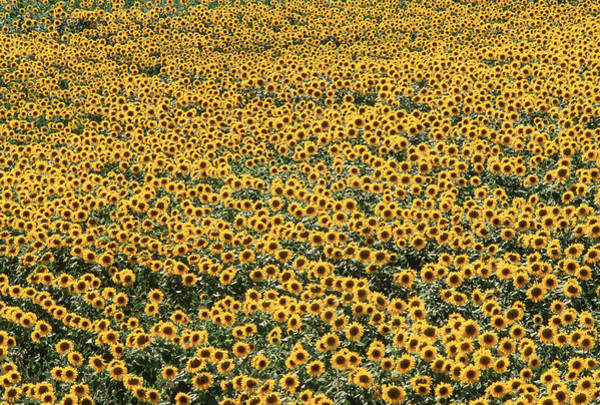 Wall Art - Photograph - Sunflower Field by David Nunuk/science Photo Library