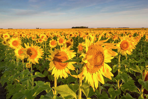North Dakota Photograph - Sunflower Field In Morning Light by Chuck Haney