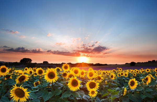 Flower Head Photograph - Sunflower Summer Sunset Landscape With Blue Skies by Matthew Gibson