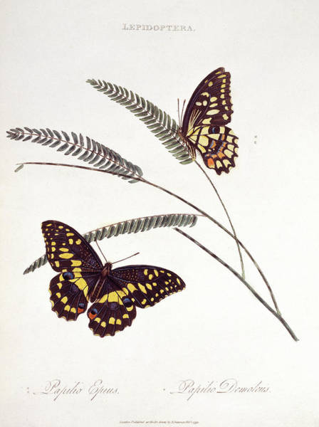 Wall Art - Photograph - Swallowtail Butterflies by Natural History Museum, London/science Photo Library